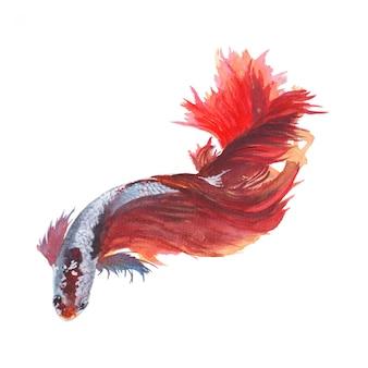 Pintura em aquarela siamese de peixes de combate