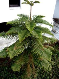 Pinus, árvores