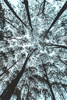 Pinus mugo - é também conhecido como pinheiro rastejante, pinheiro anão da montanha, pinheiro mugo