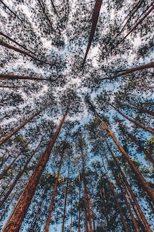 Pinus mugo - também conhecido como pinheiro rastejante, pinheiro-anão