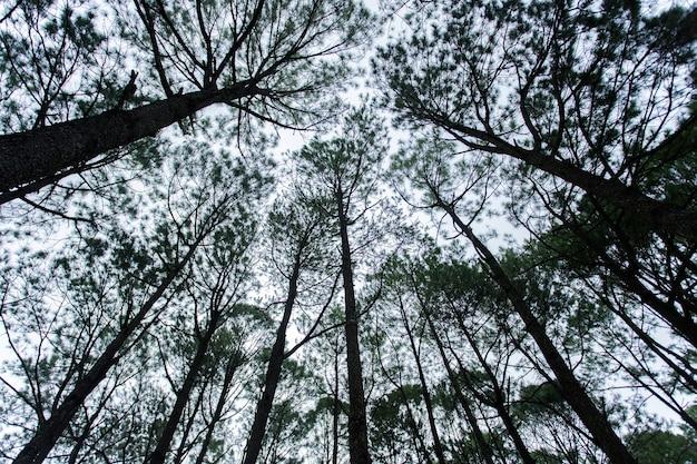 Pinus pinus mugo, pinheiro anão da montanha