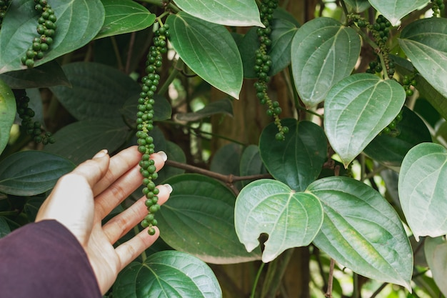 Piper nigrum fresco pimenta verde da árvore na mão
