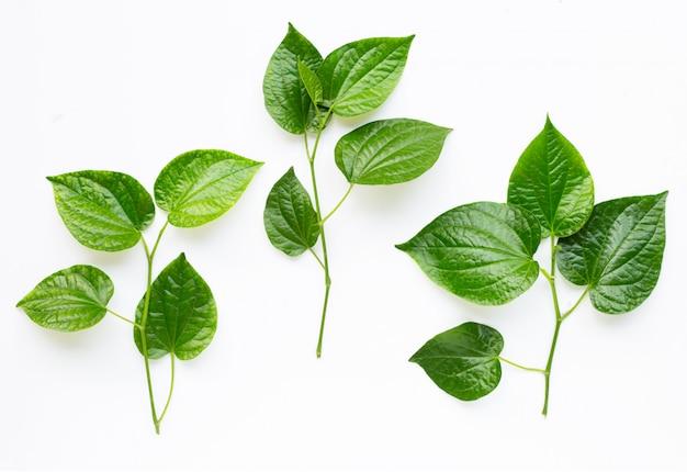 Piper sarmentosum ou wildbetal leafbush em branco