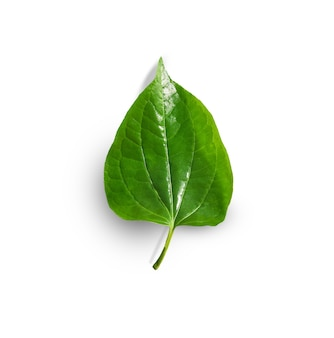 Piper sarmentosum roxb ou chaplo ou folhagem piperaceae isolada