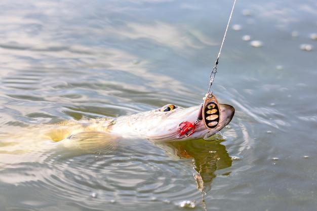 Pique peixe esox lucius com isca na boca na água.