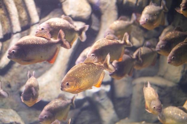 Piranha de perto no aquário pygocentrus nattereri