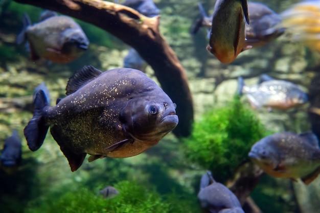 Piranhas tropicais pescam em ambiente natural