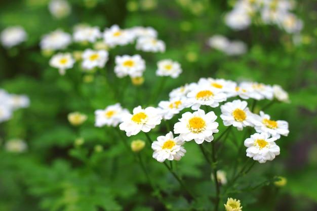 Piretro de florescência