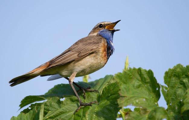 Pisco de peito azul canta pela manhã sentado em uma planta