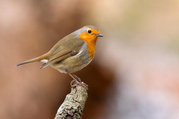 Pisco de peito vermelho europeu, pássaros de canto, pássaro, passerine, erithacus rubecula