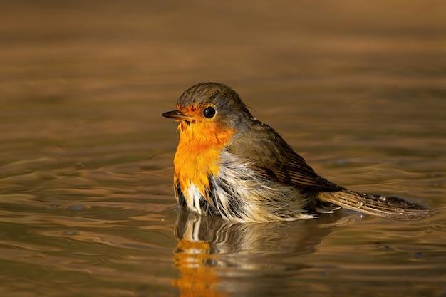 Pisco de peito vermelho europeu que banha-se na água na noite ensolarada de primavera.