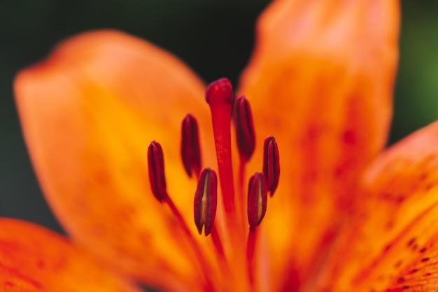 Pistilo grande e estames de florescência flor em macro