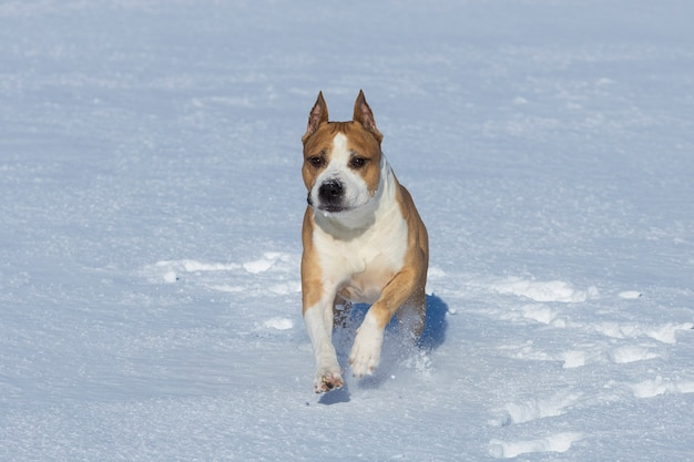 Pit bull terrier corre pela neve. raça de luta de cães. foto de alta qualidade