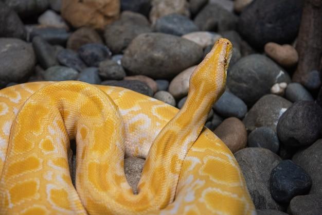 Pitão amarela de perto