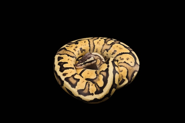 Pitão de bola fêmea. vaga-lume morph ou mutação