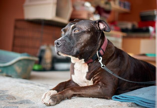 Pitbull branco e marrom sentado em um sofá