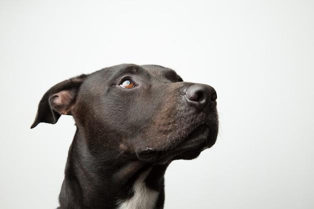 Pitbull cachorro olhando para cima isolado em fundo cinza