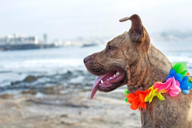 Pitbull com colar de flores havaianas.