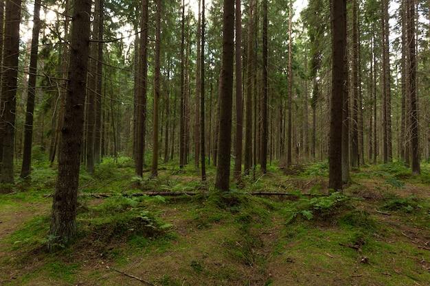 Pitoresca floresta de pinheiros verdes na região ecológica da rússia.