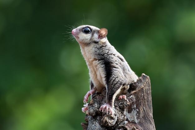 Planador-açucareiro pendurado em um galho de árvore