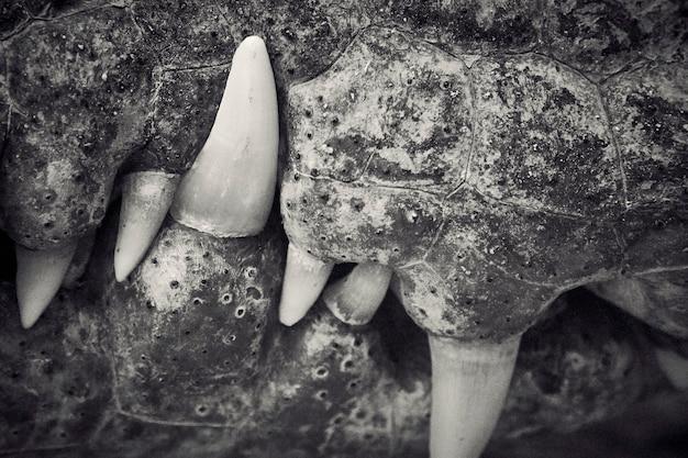 Plano aproximado da boca e dos dentes do crocodilo