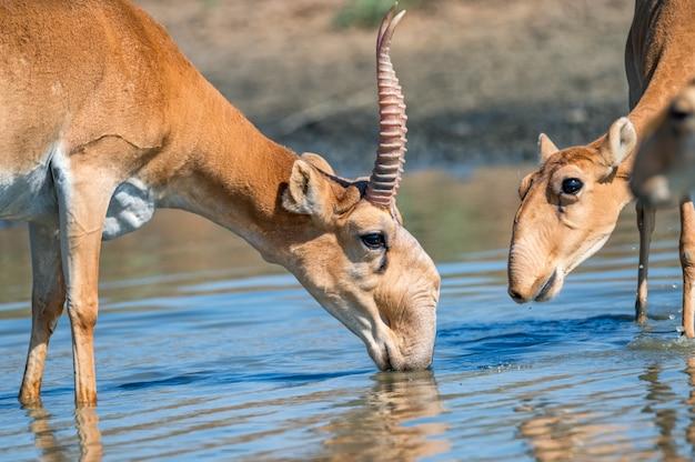 Plano aproximado de antílope saiga macho ou saiga tatarica bebe água