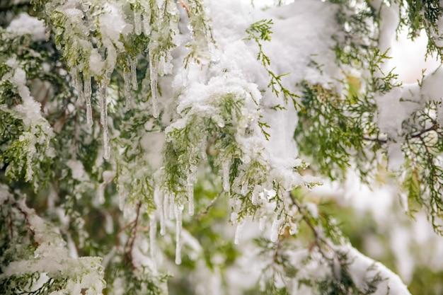 Plano aproximado de fundo de galhos de árvores verdes congelados no início da manhã gelada no inverno