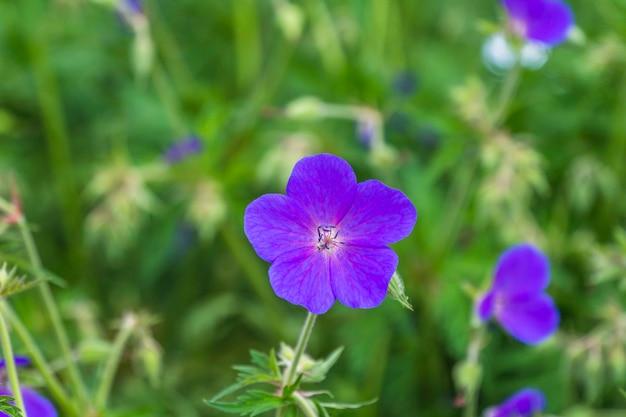 Plano aproximado de gerânio violeta brilhante sobre fundo verde