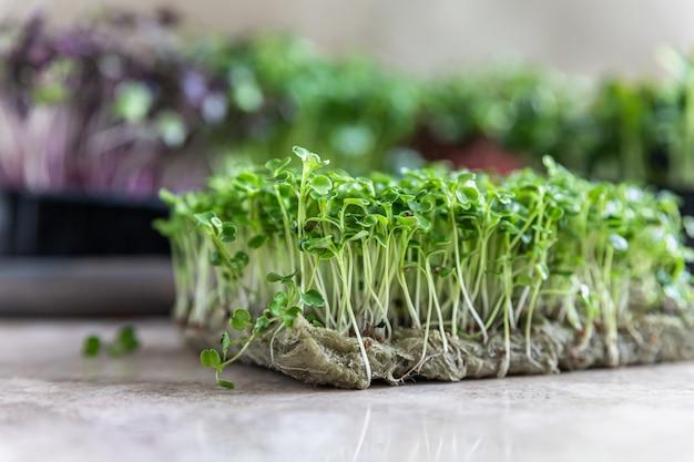 Plano aproximado de microgreen de rúcula. conceito de superalimento orgânico. estilo de vida saudável.