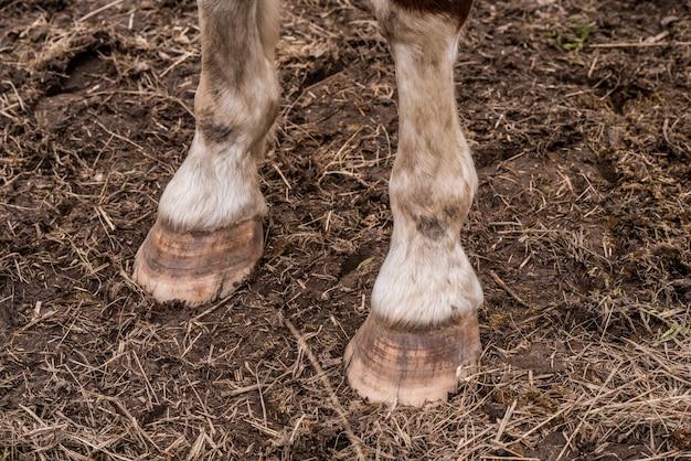 Plano aproximado de patas e cascos de cavalo marrom