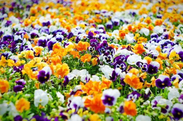 Plano de fundo com flores de verão, prado de amores-perfeitos vívidos (violas), foco seletivo, profundidade de campo rasa