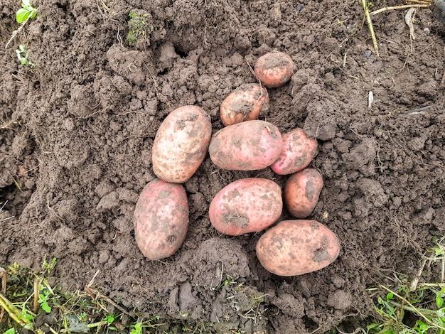 Plano de fundo de batatas cavadas em close up batatas grandes estão no chão