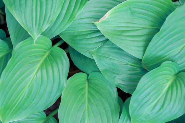 Plano de fundo de belas folhas de hosta ou lírio verde-azulado