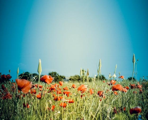 Plano de fundo de céu azul e campo com papoilas vermelhas
