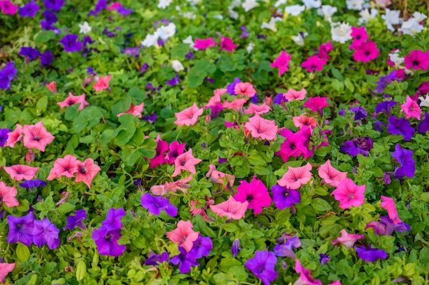 Plano de fundo de flores rosa e roxas e foco seletivo de folhas verdes