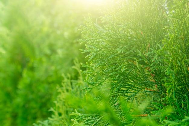 Plano de fundo de natal e ano novo. padrão botânico atmosférico com belo ramo de cipreste verde. para design gráfico, cartões. árvore perene de cipreste (cupressus). copie o espaço para o texto