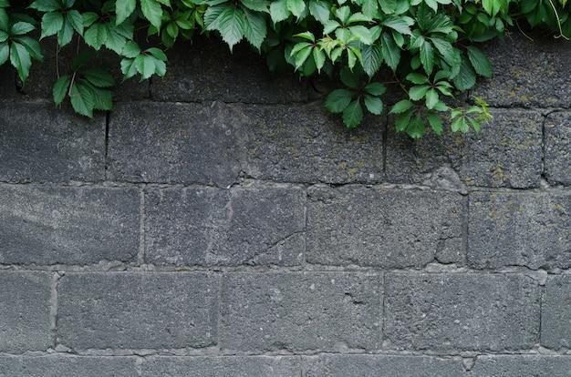 Plano de fundo de um muro de pedra cinza com folhas de hera verde