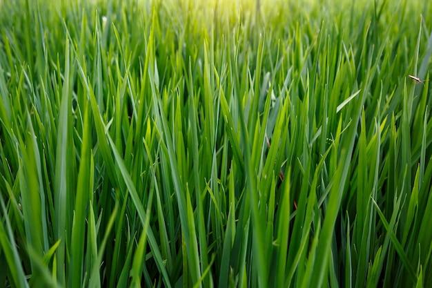 Plano de fundo de uma textura de grama verde.