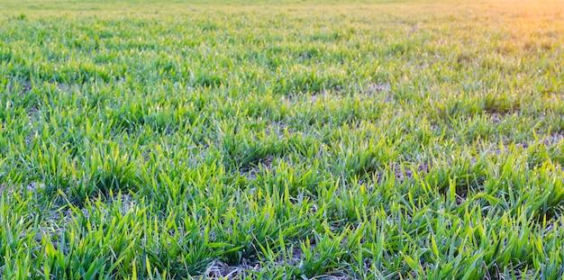 Plano de fundo em um campo de trigo jovem de manhã cedo