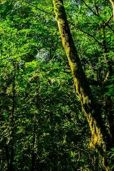 Plano de fundo - floresta subtropical, bosque de buxo de teixo com troncos de árvores cobertas de musgo