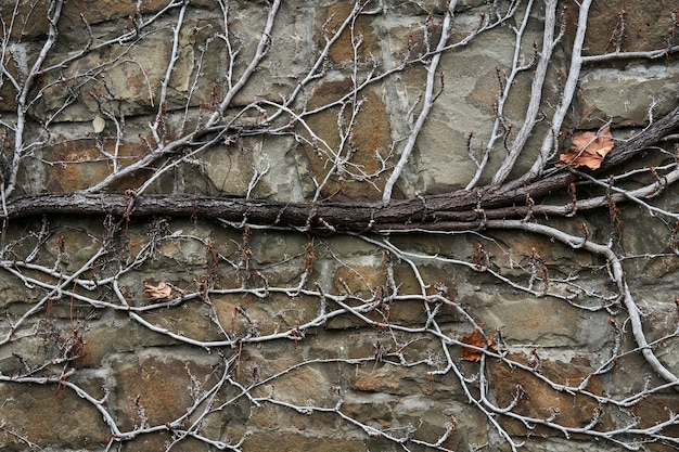 Plano de fundo - parede de pedra, coberta com um padrão natural de hastes secas de inverno de vinhas selvagens