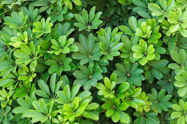 Plano de fundo verde de planta, textura de folhas exóticas brilhantes de planta tropical