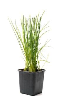 Planta aromática de cebolinhas isolada.