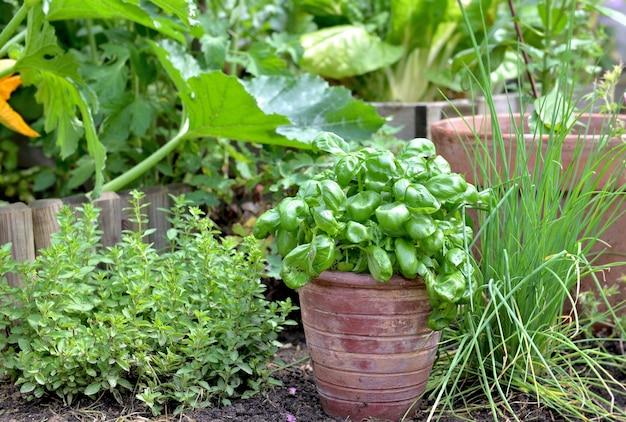 Planta aromática e manjericão em vaso colocado no solo com barbear e origano em jardim