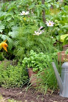 Planta aromática e vaso de manjericão crescendo em uma horta com uma lata de água