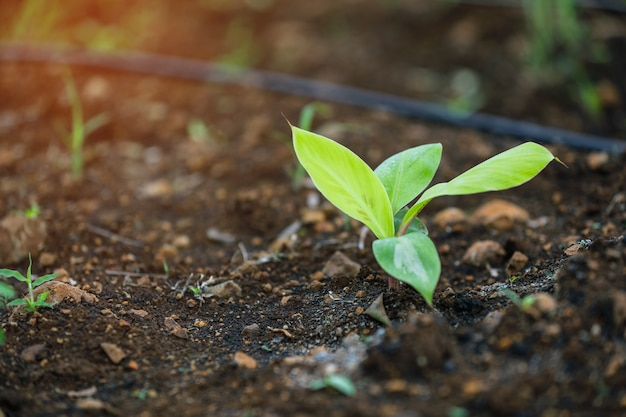Planta banana, campo banana