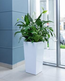 Planta big peace lily em vaso branco no escritório
