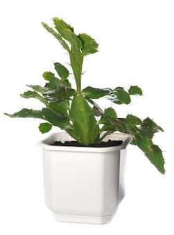 Planta caseira de cacto espinhoso (opuntia) isolada no branco