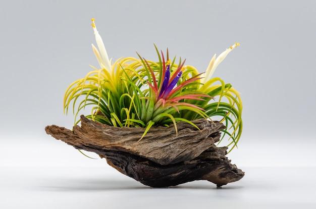 Planta colorida fresca de tillandsia ou de ar com pólen e flores posta sobre a madeira com fundo branco.