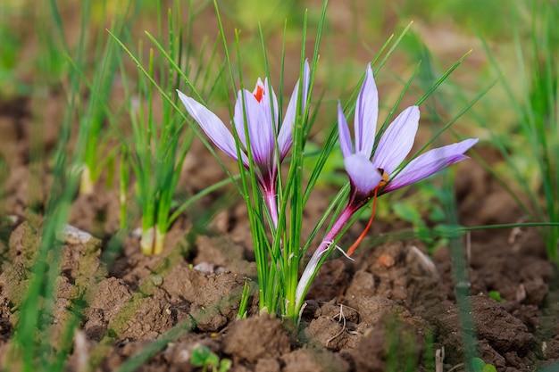 Planta com flor de açafrão. colhendo flores de açafrão para o tempero mais caro. flores roxas de açafrão.